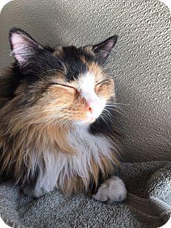 Calico Cat for adoption in Las Vegas, Nevada - Katrina