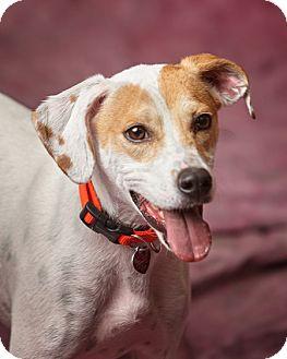 Jack Russell Terrier/Beagle Mix Dog for adoption in Harrisonburg, Virginia - Otis