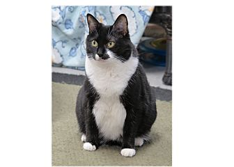 Domestic Shorthair Cat for adoption in San Carlos, California - Gretel