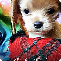 Adopt A Pet :: Baby Rad - Tucson, AZ