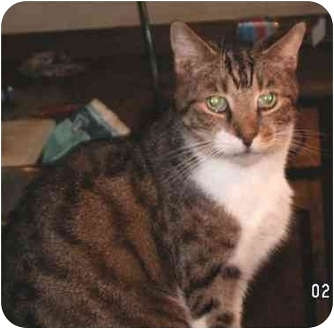Domestic Shorthair Cat for adoption in Milford, Ohio - Bogey