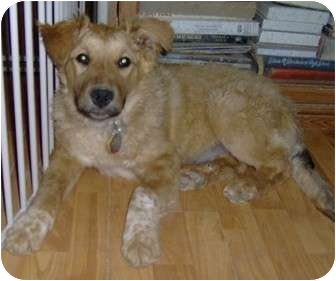 Retriever (Unknown Type)/Border Collie Mix Puppy for adoption in Golden Valley, Arizona - Hope
