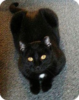 Domestic Shorthair Cat for adoption in N. Billerica, Massachusetts - Star