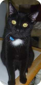 Domestic Shorthair Cat for adoption in Hamburg, New York - Drew