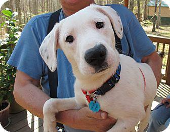 Labrador Retriever/Terrier (Unknown Type, Medium) Mix Puppy for adoption in Spring Valley, New York - Domino