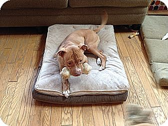 Pit Bull Terrier Dog for adoption in Brodheadsville, Pennsylvania - Ruby