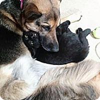 Adopt A Pet :: Ninja - Sterling Hgts, MI