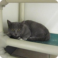 Domestic Shorthair Cat for adoption in Grand Junction, Colorado - Ashton