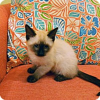 Adopt A Pet :: Ming Meow - The Colony, TX