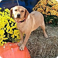 Beagle/Shepherd (Unknown Type) Mix Dog for adoption in Manchester, New Hampshire - Debbie - Paws in Prison
