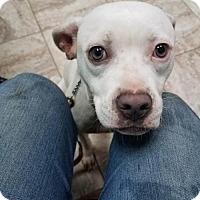Adopt A Pet :: Seirra - Los Banos, CA