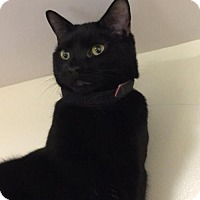 Domestic Shorthair Cat for adoption in Bridgewater, New Jersey - Shalimar
