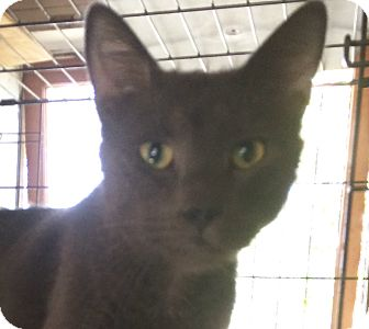 Russian Blue Cat for adoption in Cocoa, Florida - Les Paul