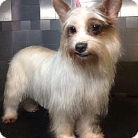 Adopt A Pet :: Roxie - McKinney, TX