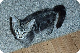 Domestic Shorthair Kitten for adoption in Catasauqua, Pennsylvania - Alvin