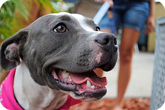 American Pit Bull Terrier Mix Dog for adoption in Orlando, Florida - Colby