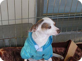 Chihuahua Mix Dog for adoption in Las Vegas, Nevada - Paddington