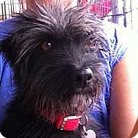 Adopt A Pet :: Dimitria - North Hollywood, CA