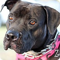 Adopt A Pet :: Zena - Wichita Falls, TX