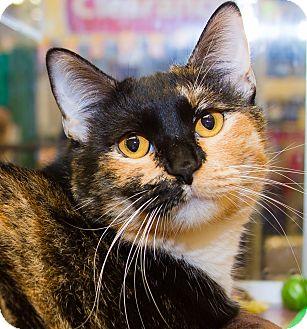 Calico Cat for adoption in Irvine, California - Cecilia