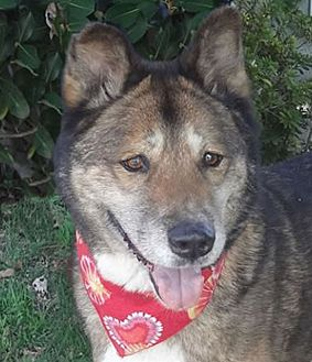 Akita/Shepherd (Unknown Type) Mix Dog for adoption in Canoga Park, California - Bubba aka Dolby