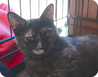 Domestic Shorthair Cat for adoption in San Pablo, California - LAKE