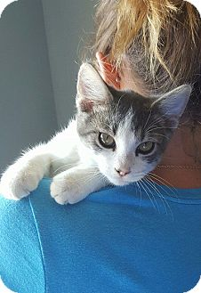 Domestic Shorthair Cat for adoption in Edwardsville, Illinois - Petey