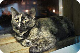 Domestic Shorthair Cat for adoption in West Des Moines, Iowa - Skylark