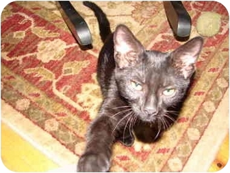 American Shorthair Kitten for adoption in Cuyahoga Falls, Ohio - Minnie
