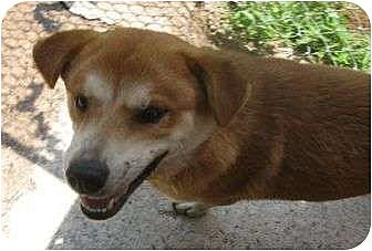 Husky/Golden Retriever Mix Dog for adoption in Snellville, Georgia - Chip