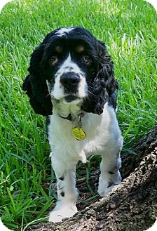 Cocker Spaniel Dog for adoption in Sugarland, Texas - Scotty