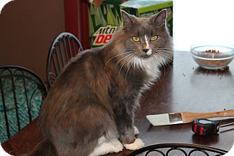 Domestic Longhair Cat for adoption in Clay, New York - Luna&MJ
