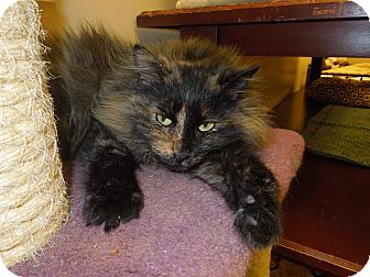 Domestic Longhair Cat for adoption in Medina, Ohio - Priscilla