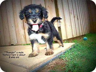 Terrier (Unknown Type, Small) Mix Puppy for adoption in Gadsden, Alabama - Thunder
