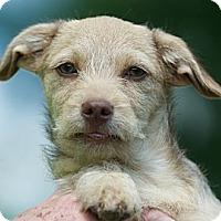 Adopt A Pet :: Opie - Providence, RI