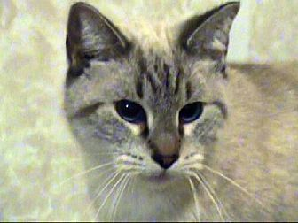 Siamese Cat for adoption in Tyler, Texas - TG-Zamora