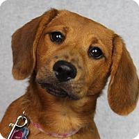 Adopt A Pet :: Scarlett - Minneapolis, MN