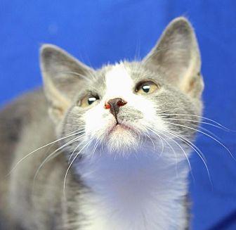Domestic Shorthair Kitten for adoption in Winston-Salem, North Carolina - Millie