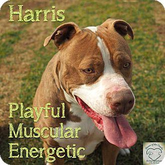 Pit Bull Terrier Mix Dog for adoption in Washburn, Missouri - Harris