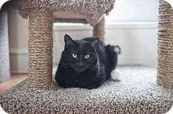 Domestic Shorthair Cat for adoption in East Norriton, Pennsylvania - Jesse