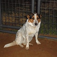 Adopt A Pet :: Sassafrass - Anton, TX