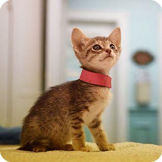 Domestic Mediumhair Kitten for adoption in Dallas, Texas - Angel