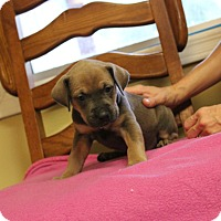 Adopt A Pet :: Maple - Brattleboro, VT