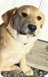 Labrador Retriever Mix Puppy for adoption in Las Vegas, Nevada - Marcia