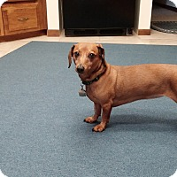 Adopt A Pet :: Annie-Adoption pending - Marcellus, MI