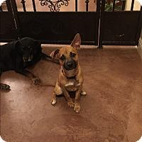 Adopt A Pet :: Amelia - Phoenix, AZ