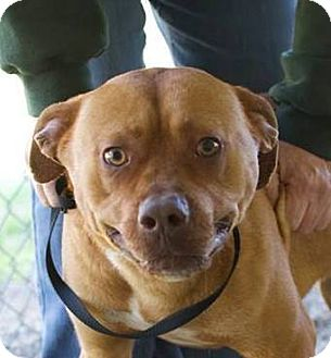 American Staffordshire Terrier/Labrador Retriever Mix Dog for adoption in Nashville, North Carolina - Feisty ~ CRITICAL Available NOW