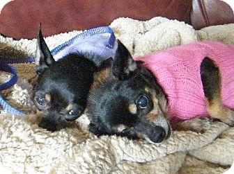 Chihuahua Mix Dog for adoption in Beavercreek, Ohio - TIA and TOPANGA