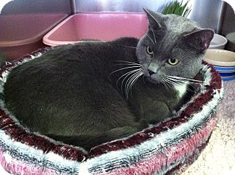 Domestic Shorthair Cat for adoption in Topeka, Kansas - Eve
