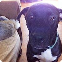 Adopt A Pet :: Jack good w small dogs - Sacramento, CA